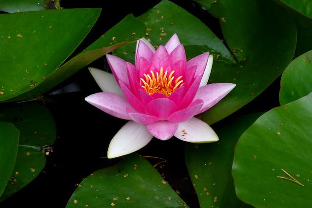 Water lily, Arne, Doset, UK