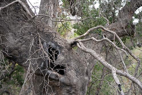 B-370 Oak Tree Kitten Den