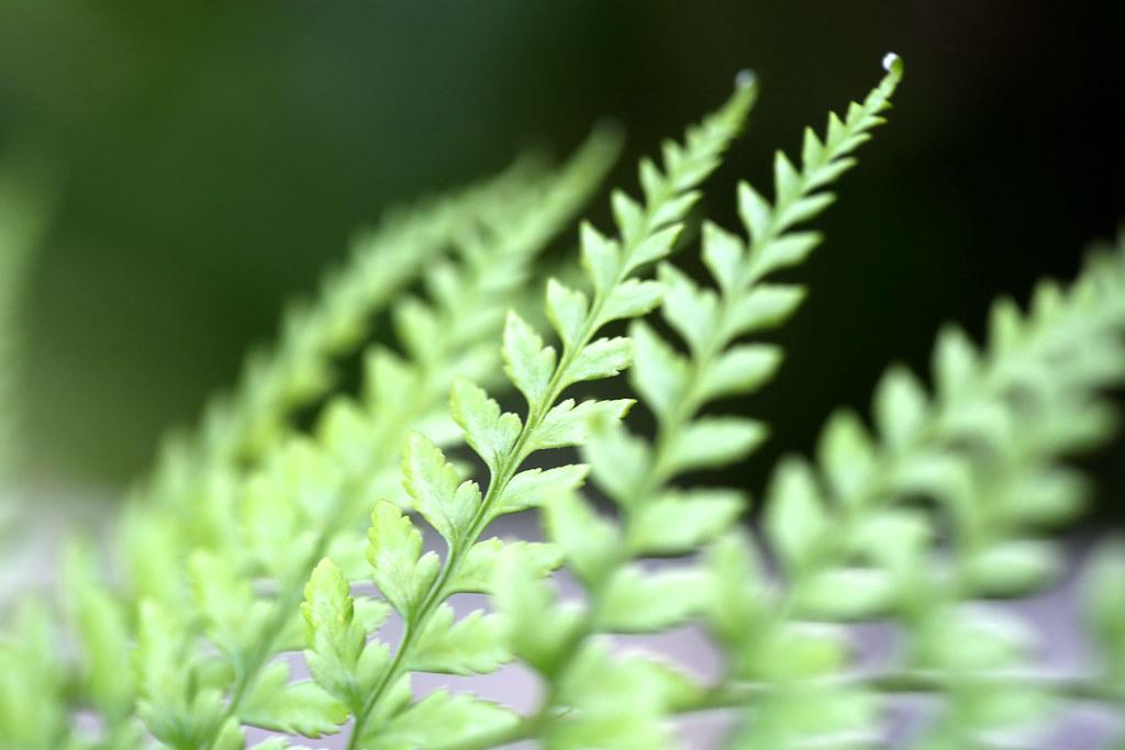 Fougère pteris tremula, Macro jardin 11-18