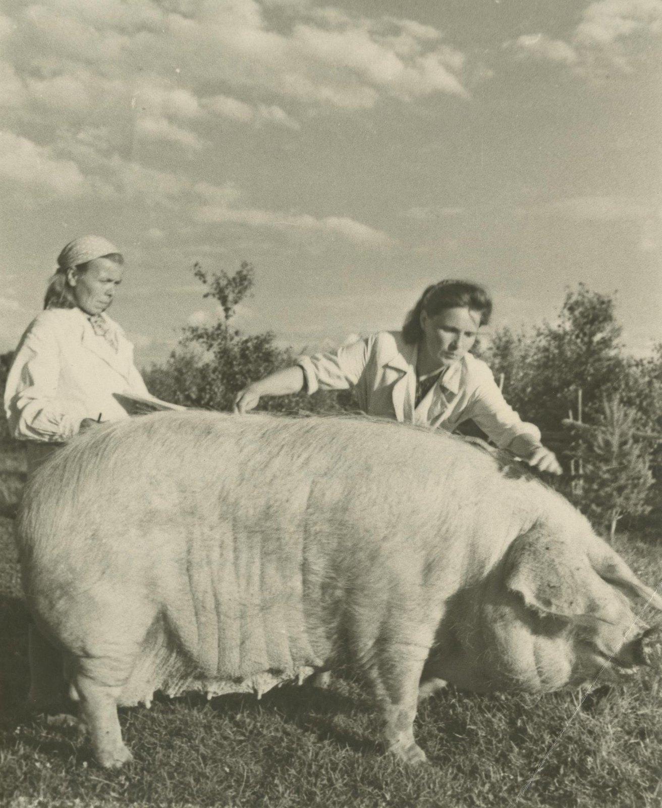 1949. Зоотехник М.К.Маркова (слева) и старший селекционер Г.Ф.Манохина производят обмер породистой свиньи из колхоза «Верный путь»