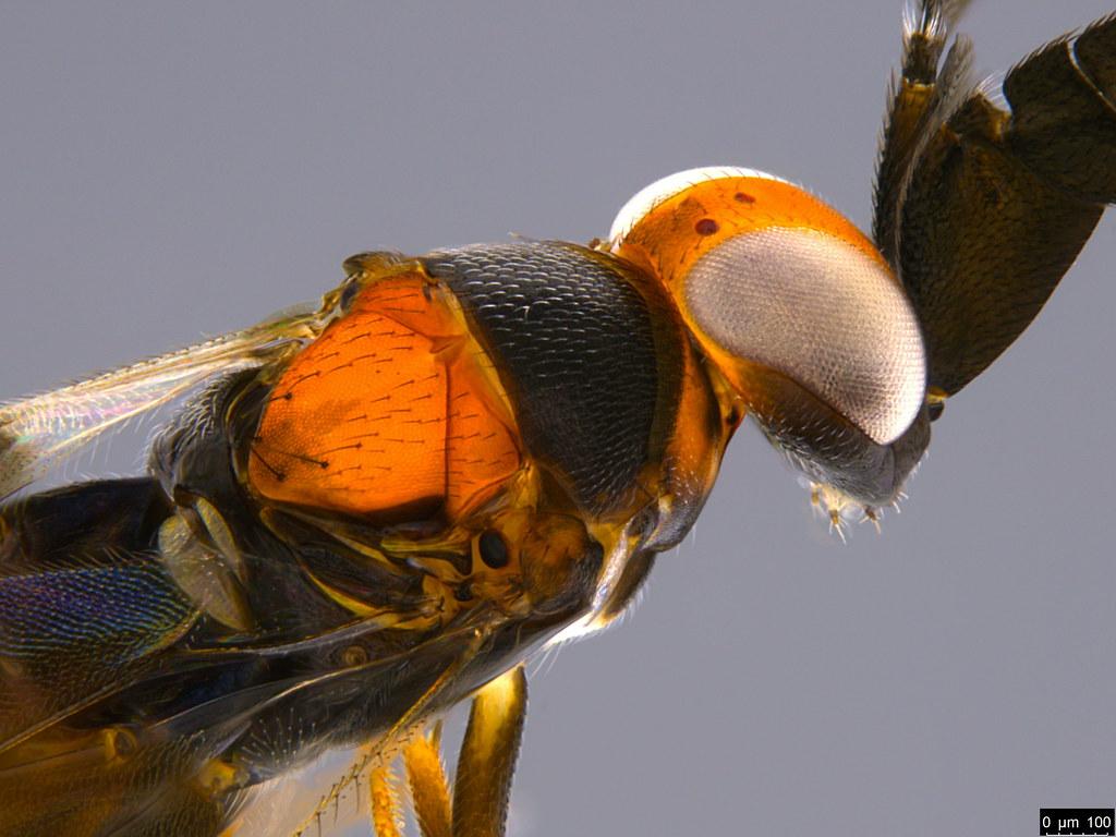 1b - Cryptanusia sp.