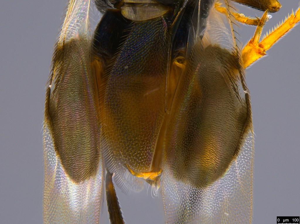 1i - Cryptanusia sp.