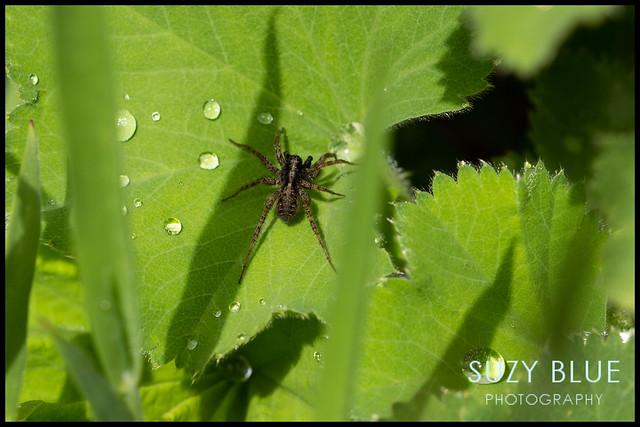 Spider on Alchemilla