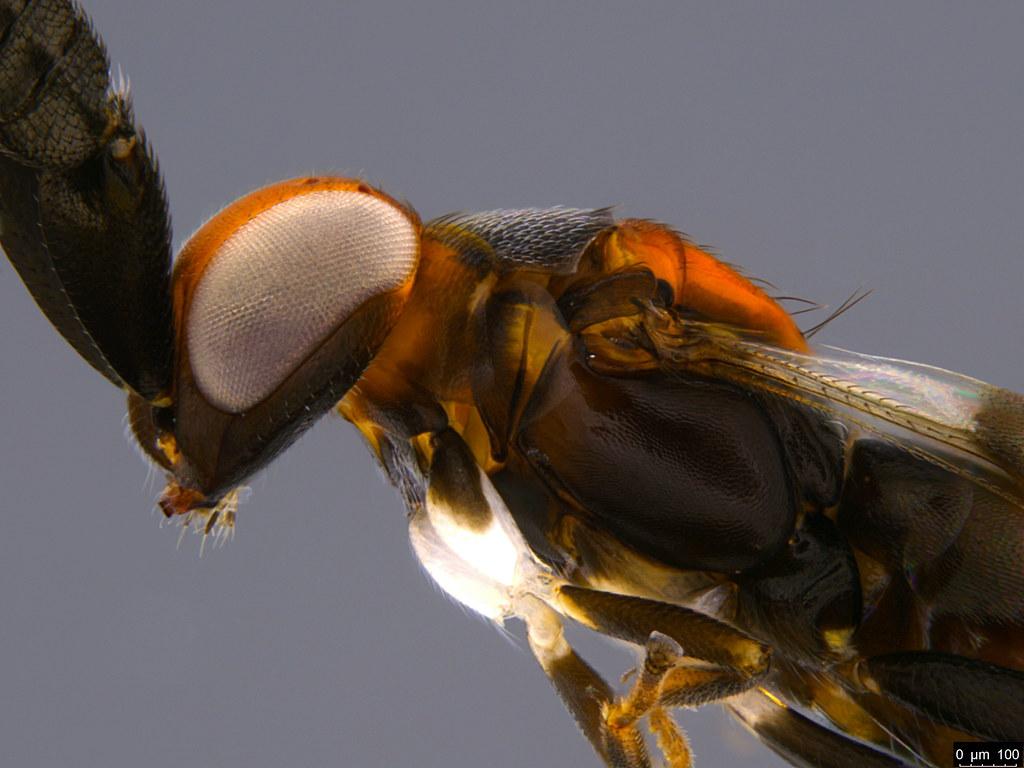 1g - Cryptanusia sp.