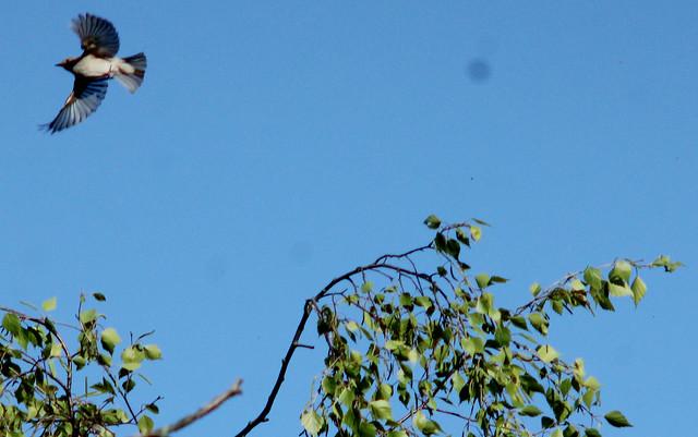 Spotted flycatcher, Muscicapa striata, Grå flugsnappare