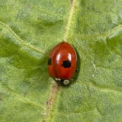 2-spot ladybird (Adalia bipunctata)