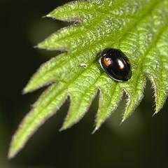 pine ladybrid (Exochomus qadripustulatus)