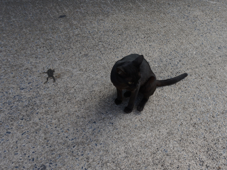 koh samui black cat
