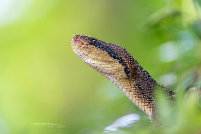 Central American bushmaster Lachesis stenophrys