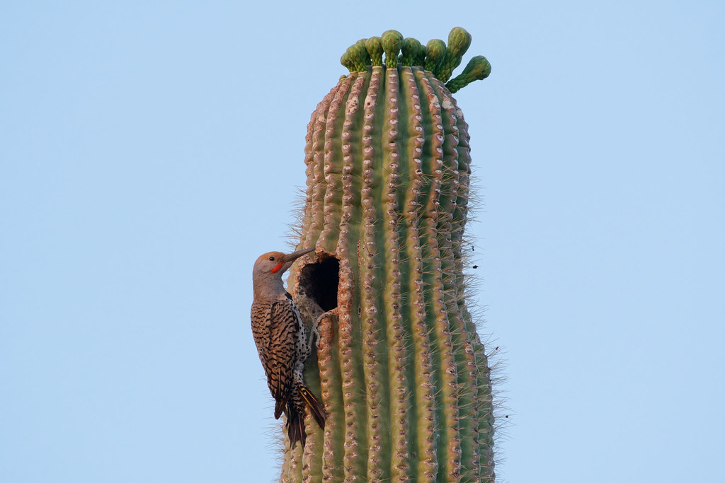 A male gilded flicker perches outside his nest in a saguaro at George Doc Cavalliere Park in Scottsdale, Arizona on May 8, 2021. Original: _RAC8770.arw