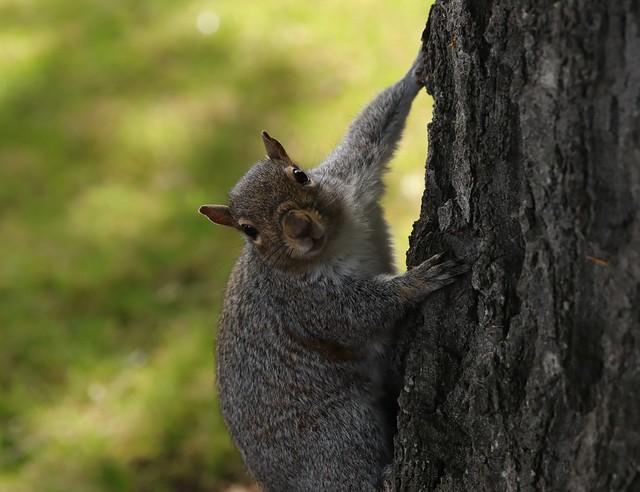 Grey squirrel Botanic Garden Dublins