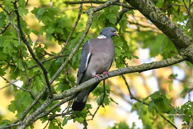 Pigeon in oak