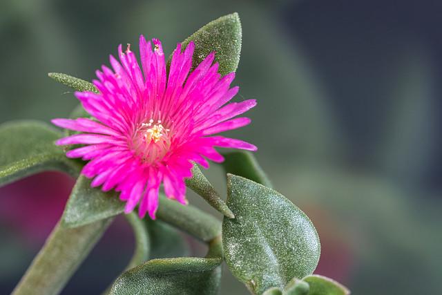 El rocío (Aptenia cordiflora)