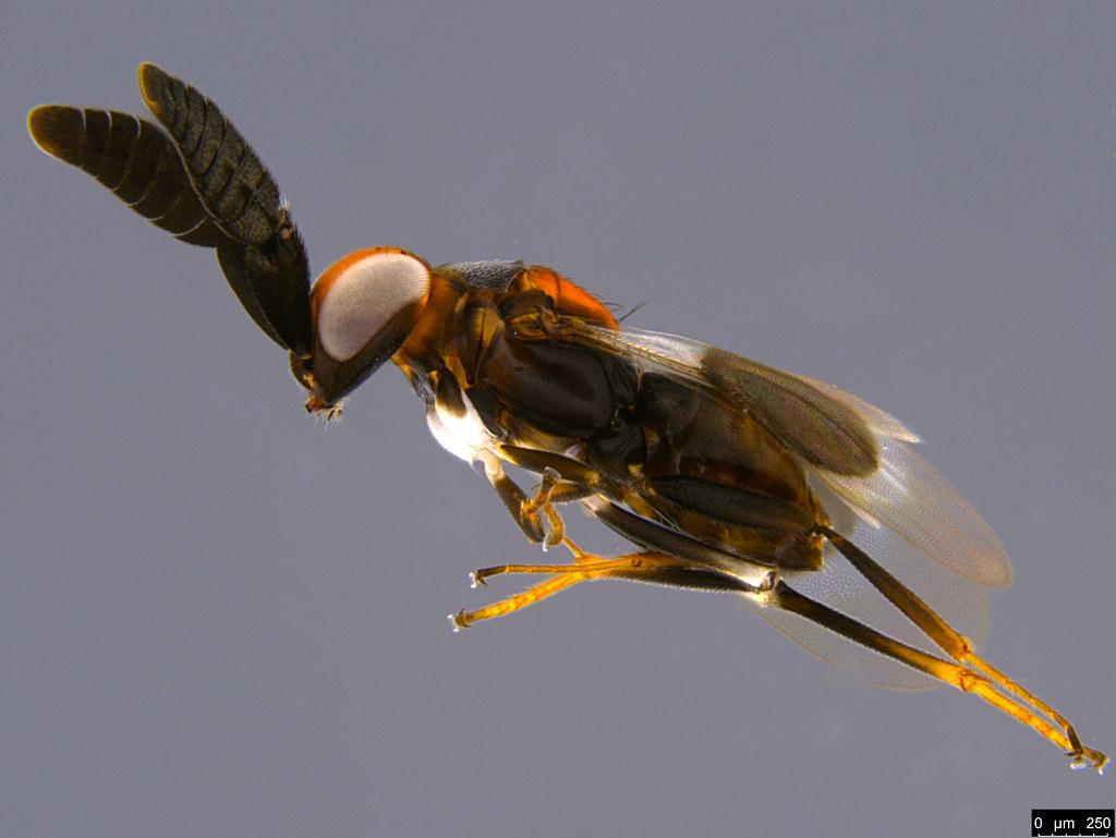 1f - Cryptanusia sp.
