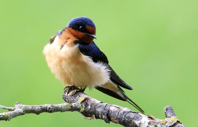 barn swallow at Lake Meyer Park IA 653A2039