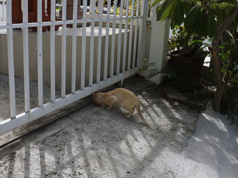 koh samui street cats