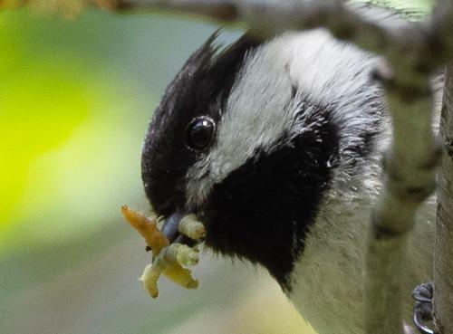 Chickadee with Baby Food