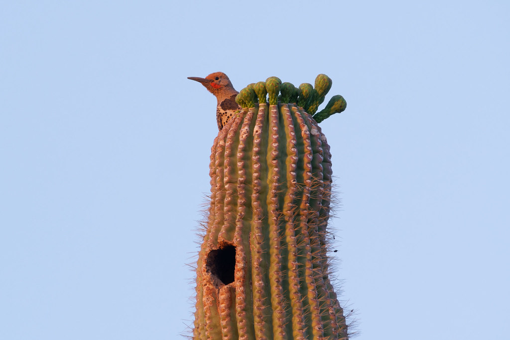A male gilded flicker peers out from the top of a saguaro covered in flower buds at George Doc Cavalliere Park in Scottsdale, Arizona on May 8, 2021. Original: _RAC8820.arw