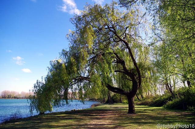 L'arbre qui voulait toucher l'eau