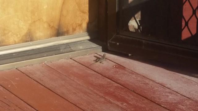 Porch Lizard