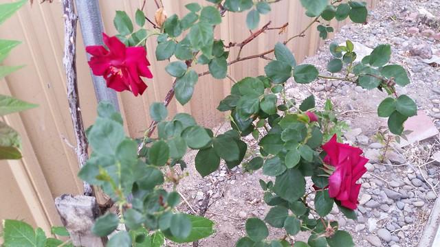 A Rose (Still) Grows in Fernley
