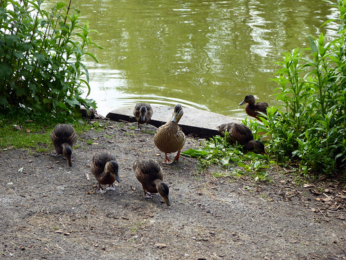 Duckling Delights