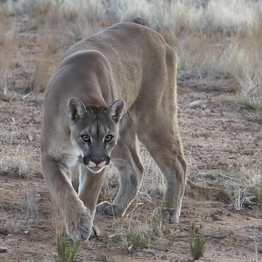 Cougar Focus