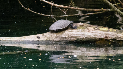 Turtle reflecting