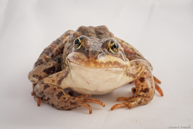 Captive Columbia Spotted Frog #1