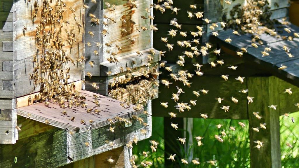 58786 Honigbienen bei der Arbeit