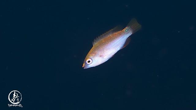 クロヘリイトヒキベラ幼魚ちゃん♪