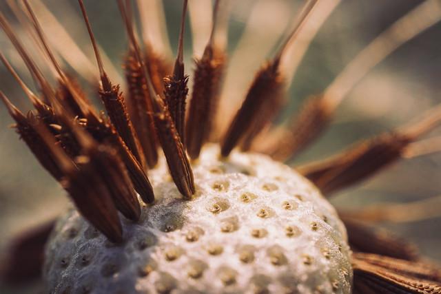 Seed Head Macro