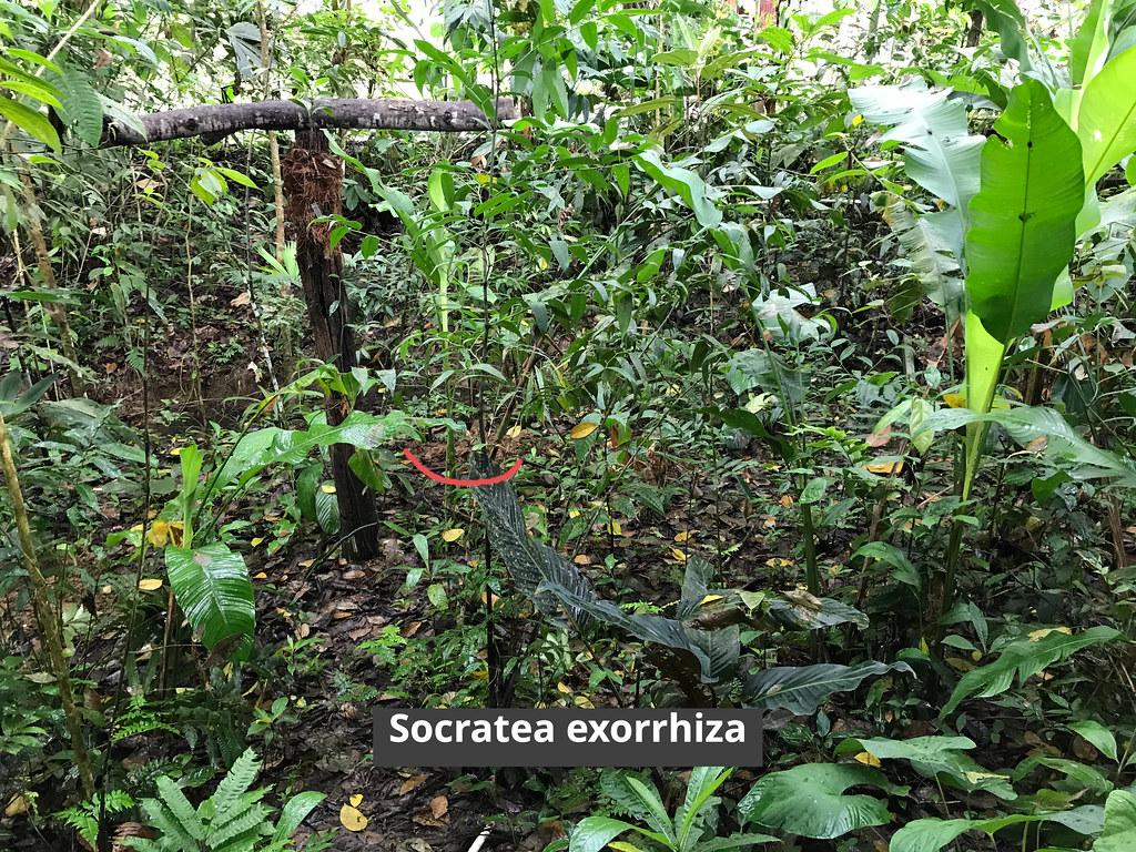 En La Casa Botánica, Socratea exorrhiza.