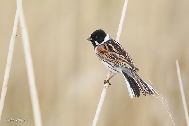 Common reed bunting (male), strnad rákosní (samec), CZE, 2021