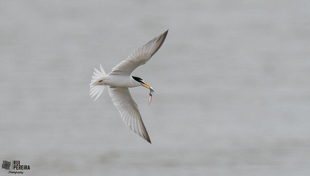 Andorinha do mar anã   Sternula albifrons   Little tern