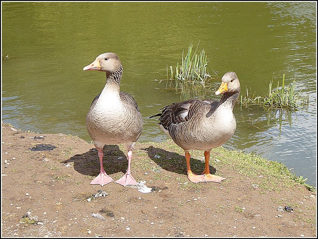 Goose and Gander ..
