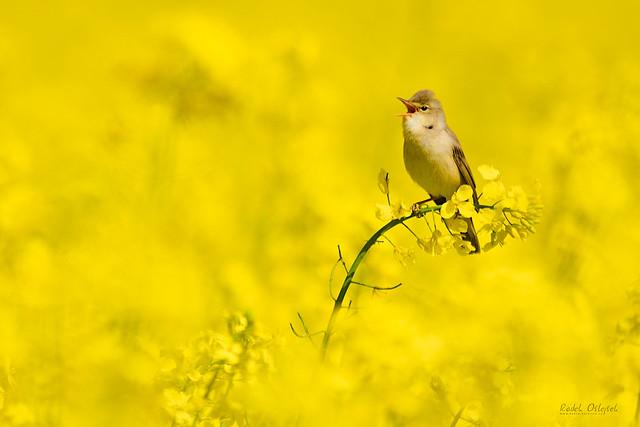 Marsh warbler, rákosník zpěvný, CZE, 2021
