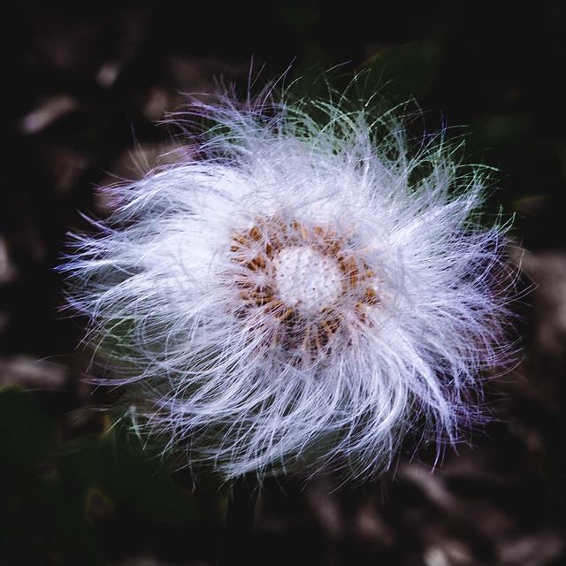 fluffy flower, пушистый цветок