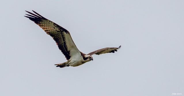 Osprey or Fish hawk.