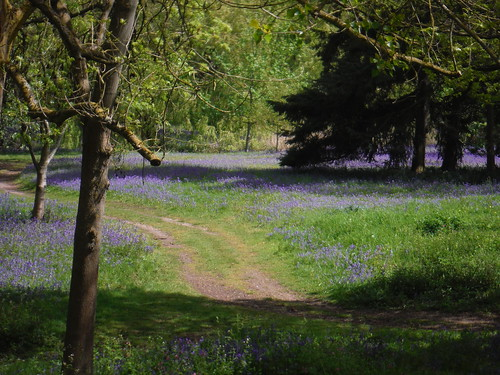 Large Area of Bluebells, off Public Bridleway, NE corner of Middle Lake SWC Short Walk 50 - Osterley Park (Osterley to Hanwell or Circular)