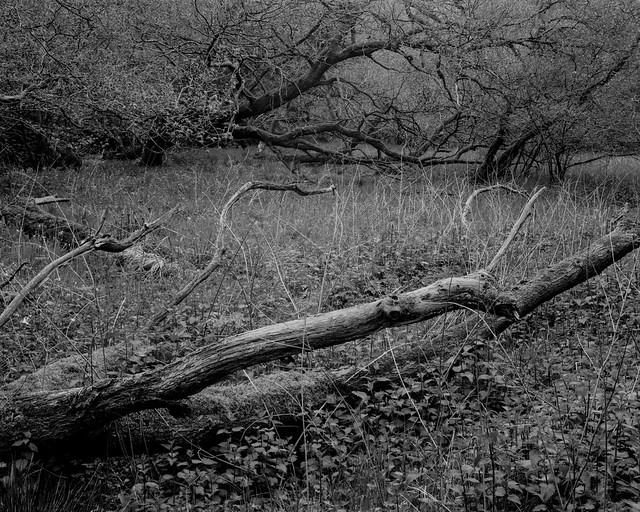 Hyons Wood, Walker Titan Sf with Rodenstock 150mm, Rollei Ortho 25+ @ISO40 in HC110