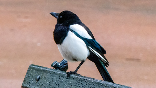 Magpie standing on park bench
