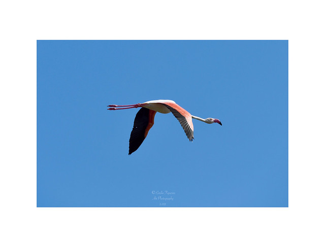 "Flamenco común, (Phoenicopterus roseus). ""In Explore 29 Mayo 2021"""