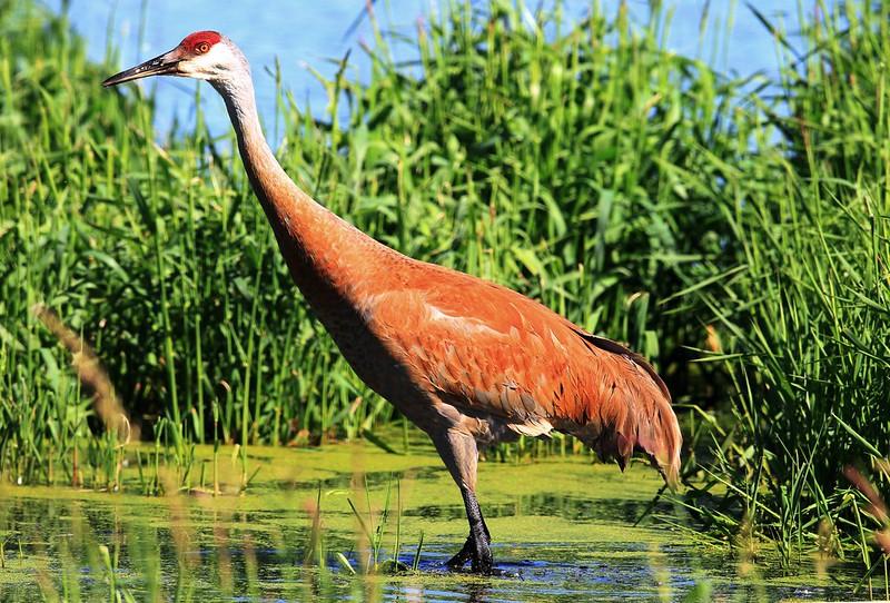 sandhill crane at Cardinal Marsh IA 653A2320