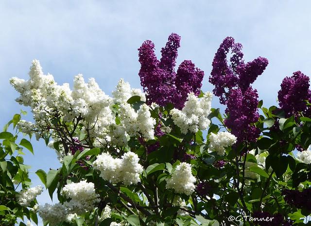 Blütenreigen im Mai