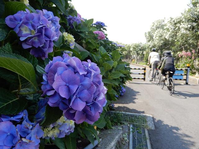 矢上川の紫陽花2021