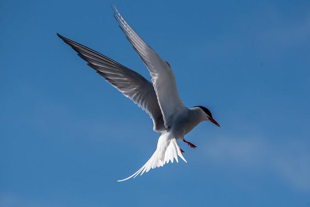 Küstenseeschwalbe im Flug / Arctic tern in flight