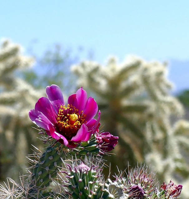 Blossom of Wild Cholla Cactus, local habitat.