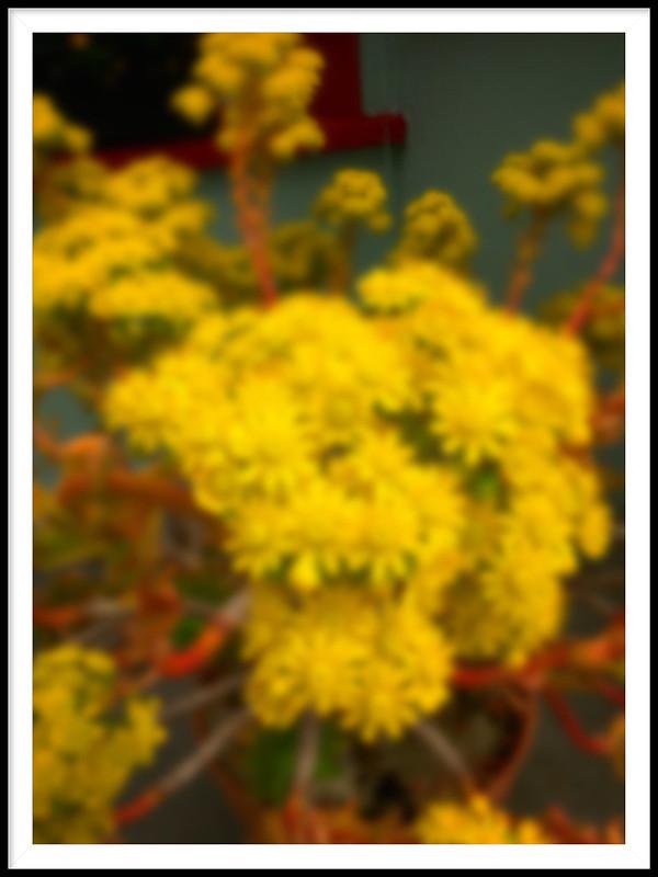 Golden Aeoniums