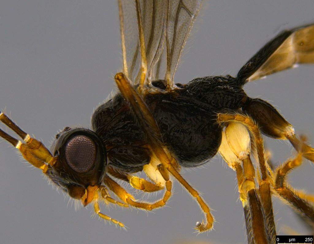 13b - Braconidae sp.